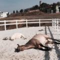 2 pferde liegen